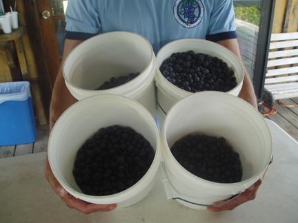 blueberriesa.jpg